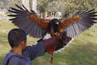 Hawk with wings spread at West Coast Falconry